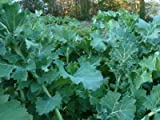 Heirloom Dwarf Siberian Kale Seeds by Stonysoil Seed Company