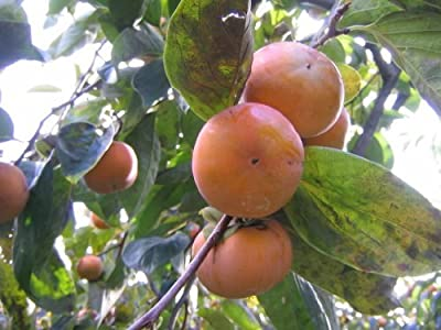 5 PERSIMMON TREE Diospyros Virginiana Fruit Seeds