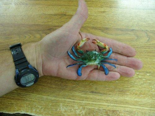 Chesapeake Bay Ornaments - Chesapeake Bay Maryland Blue Crab Christmas Ornament Set of 5