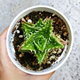 Aloe Juvenna Tiger Tooth Aloe Dwarf Aloe Bright Green Aloe Succulent Plants Aloe Squarrosa Aloe Nuts Toothy Margined Leaves - 4'' + Clay Pot