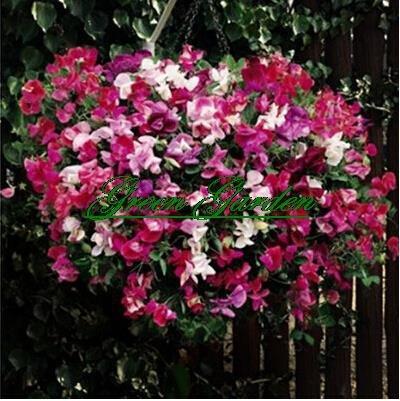 Heißer Verkauf 10 Samen Sweet Pea (Lathyrus odoratus) Samen schöne Blume Bonsai Pflanze Hausgarten
