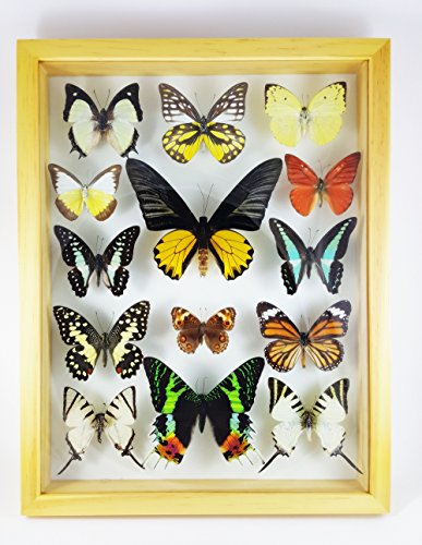 Angelwing Real Mix 14 Taxidermy Giant Butterfly Insect Display Wood Framed Mounted Bug