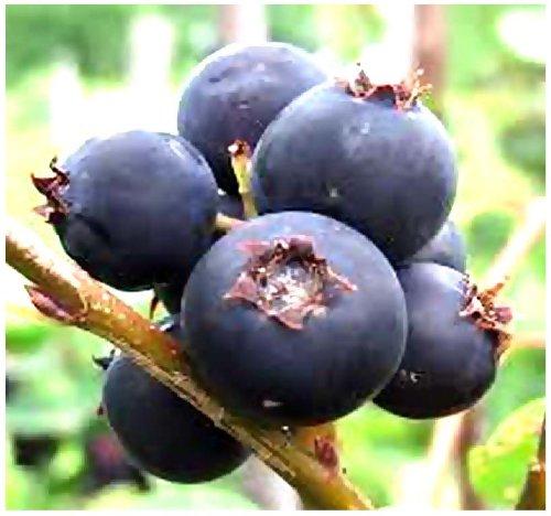 MySeeds.Co 20 x SASKATOON SERVICEBERRY - Amelanchier alnifolia Seeds - Saskatoon Berry - fruit can be eaten raw or cooked - HARDY To Zone 6 - (Saskatoon Berry)
