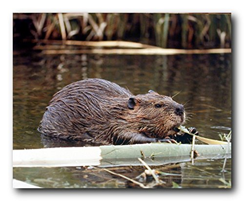 Wall Decor Beaver Wildlife Sea Animal Nature Art Print Poster (16x20)