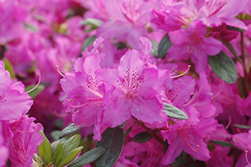 Azalea 'Karen' (Azalea) Shrub, lavender flowers, #3 - Size Container by Green Promise Farms (Image #1)