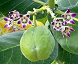 10 Seeds Calotropis procera Apple of Sodom Fruit Tree