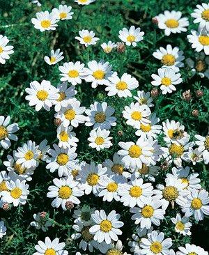 Anacyclus depressus Garden Gnome 250 seeds Hazzard's Seeds