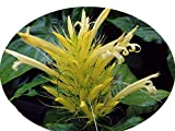 Yellow Brazilian Plume Justicia Aurea Jacobina Shade Garden Perennial Flowering Shrub Starter Size 4 Inch Pot Emeralds TM
