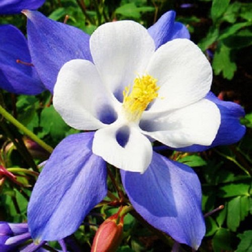 Aquilegia - Star Blue - 100 Seeds NutsnCones