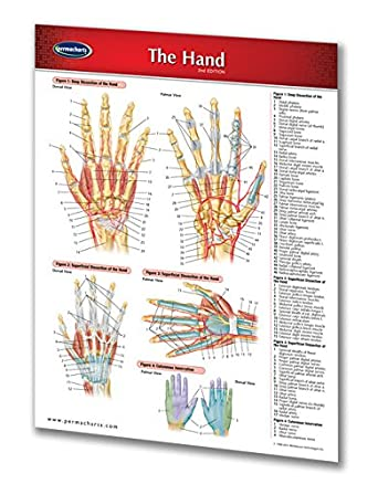 51eO PwYp7L._SX342_ amazon com hand human hand chart medical anatomy guide quick