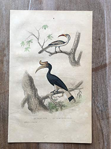 - 1870 Bird Original Antique Engraving, Hand Colored Engraving, Birds Engraving, Bird, Antique Bird Print, Northern red-Billed Hornbill Print