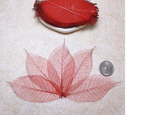 50 Red Skeleton Leaves Rubber Tree Natural Scrapbooking Craft DIY CARD Wedding (Decorations Tree Hobbycraft Christmas)