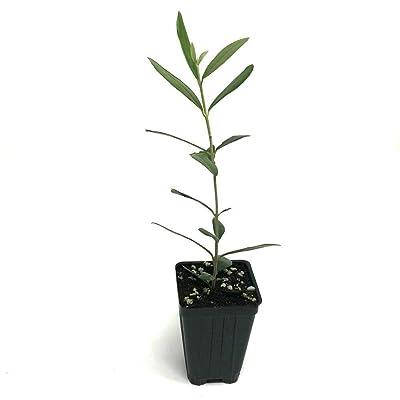 AchmadAnam - Live Plant - Olive Olea Tree Leccino Europaea Tree 3-Inch Deep Pot Indoor Garden : Garden & Outdoor