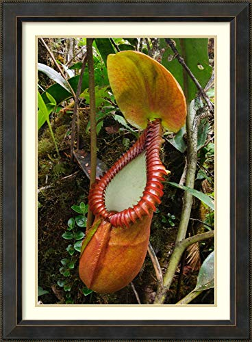 (Framed Wall Art Print Pitcher Plant Pitcher, Gunung TRUS Madi, Sabah, Borneo, Malaysia by Ch ien Lee 28.12 x 38.25)
