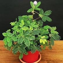 Sensitive plant, Mimosa pudica sleepy bush fern bonsai powder puff seed 20 seeds