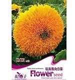 fd1278 Teddy Bear Sunflower Seed Semi Dwarf Helianthus Garden ~1 Pack 20 Seeds~