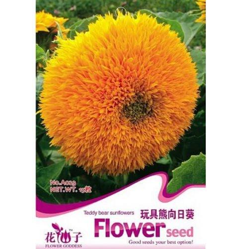 Fd1278 Teddy Bear Sunflower Seed Semi Dwarf Helianthus Garden  1 Pack 20 Seeds