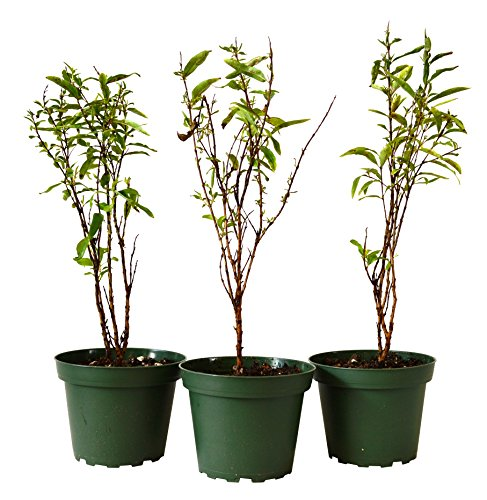 (9Greenbox Dwarf Pomegrante Tree Container, 4 Pound (Pack of 3))
