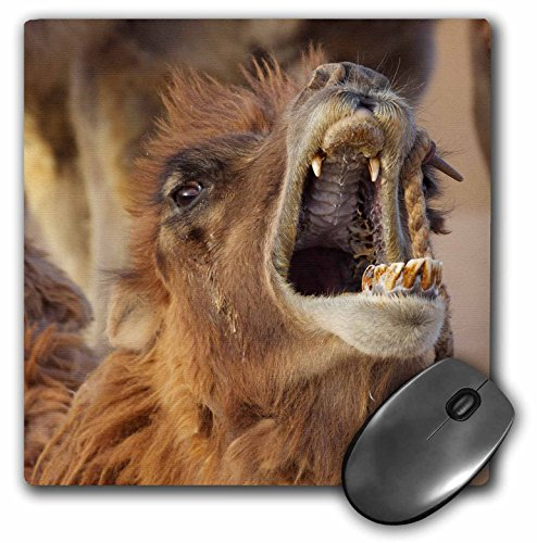 Danita Delimont - Jaynes Gallery - Camels - China, Inner Mongolia, Badain Jaran Desert. View of camels open mouth. - Mouse Pads (mp_188309_1)