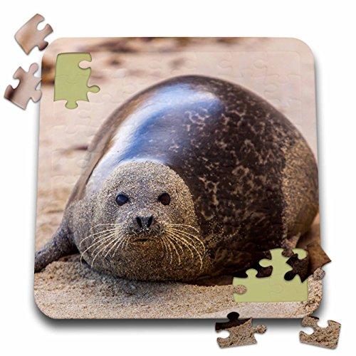 Danita Delimont - Animals - La Jolla Cove, San Diego, Harbor Seal on the Beach - 10x10 Inch Puzzle (pzl_230174_2)
