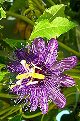 PASSION FRUIT purple flower vine maypop PASSIFLORA INCARNATA plant seed 10 SEEDS