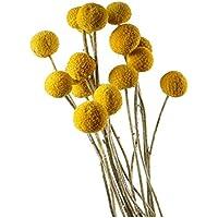 Seca Natural Craspedia Billy botón flores, bolas,