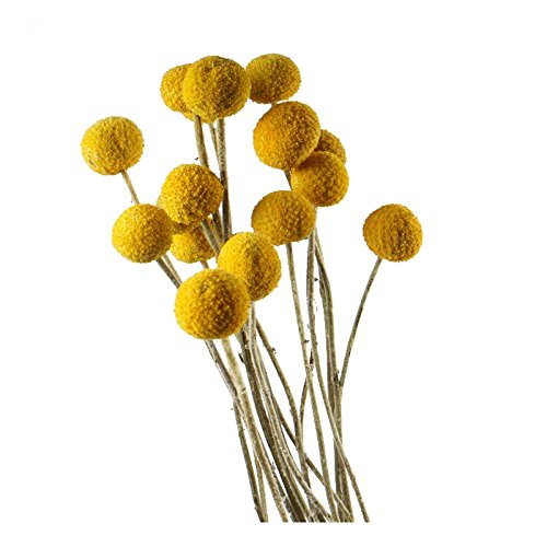 Billy Buttons - Dongliflower 30 Stems/Pcs Dried Natural Craspedia Flowers,Billy Button Balls,20'' Tall ¡­