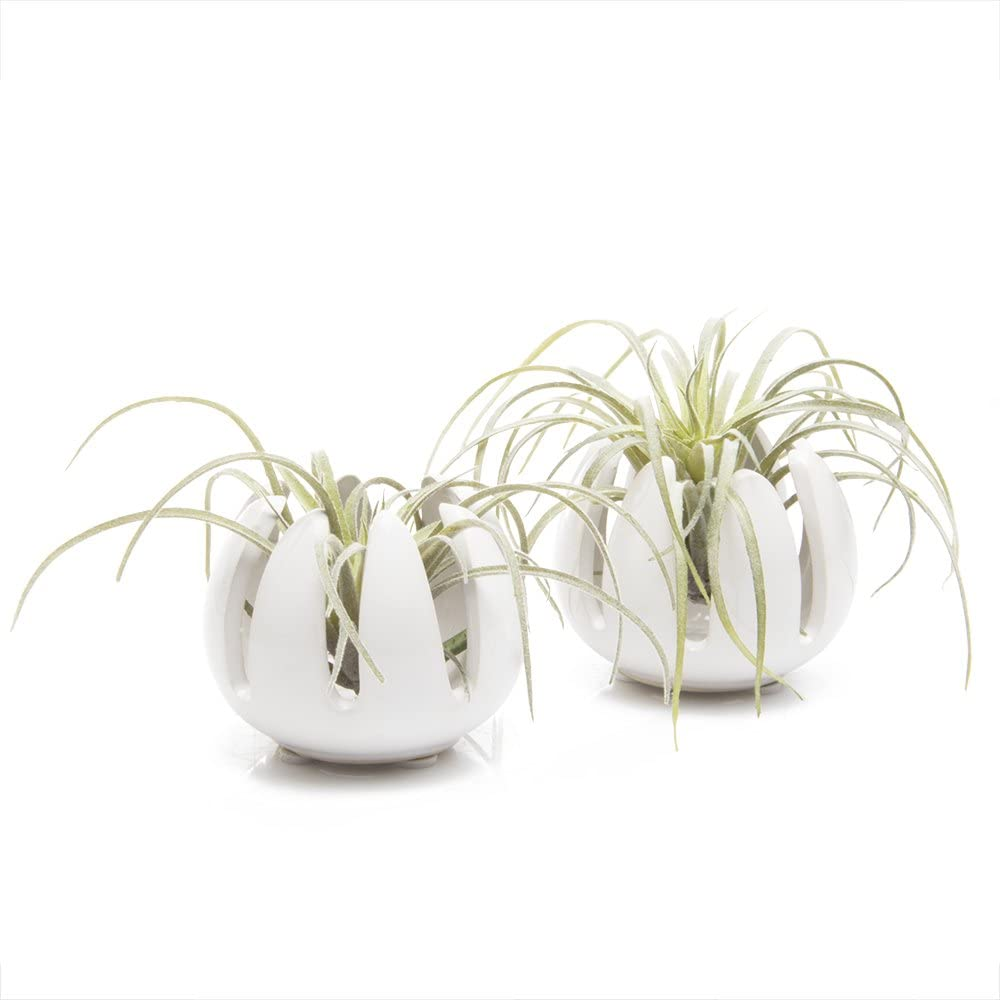 "Chive - Set of 2 Grassy, 2.5"" Small Round White Ceramic Air Plant Container, Tillandsia/Bromeliad Display, Terrarium Container, Airplant Holder for Indoor Garden, Office Desk, Home Decor, Bulk"