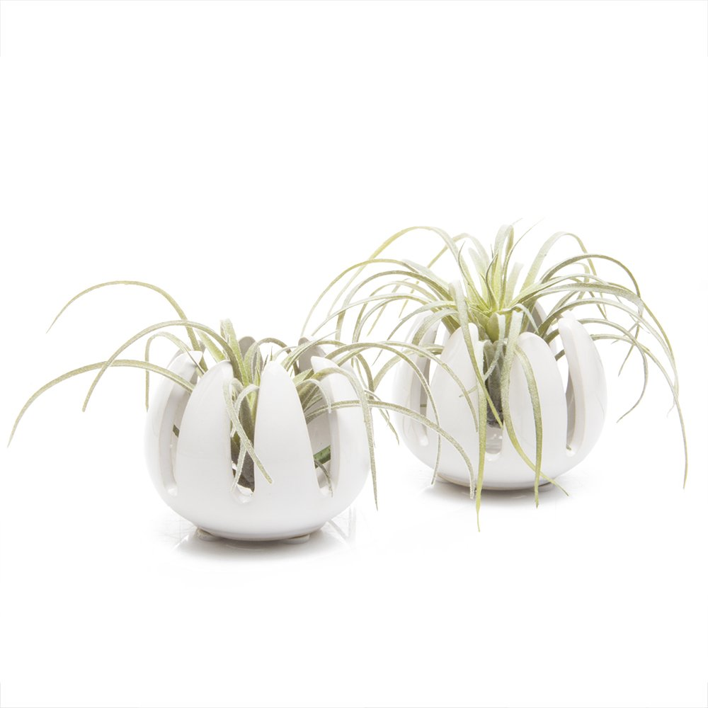 Chive - Grassy, 2.5'' Small Round White Ceramic Air Plant Container, Tillandsia/Bromeliad Display, Terrarium Container, Airplant Holder for Indoor Garden, Office Desk, Home Decor, Bulk Set of 2 by Chive