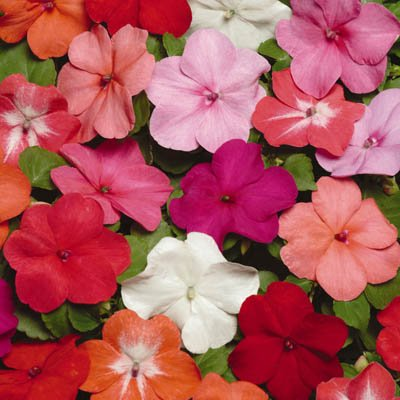 Impatiens - Super Elfin XP Mix F1 - Coral, Melon, Scarlet, and Star Salmon Flowers - Flower Seeds - 250 Seeds (Coral Scarlet)
