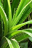 Aloe Vera Plant, Mature Indoor Succulent, Edible Medicinal Burns, Easy to Grow (State Restrictions Apply), 6 Pack (4in Pot, Live Plant)