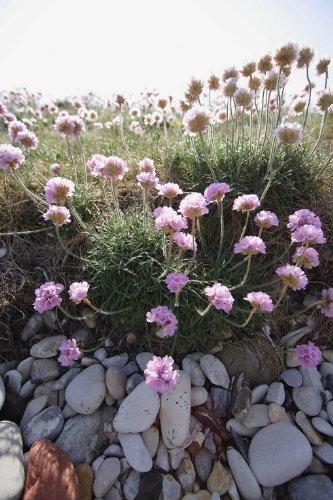 Just Seed Saatgut / Armeria maritima, für Steingärten