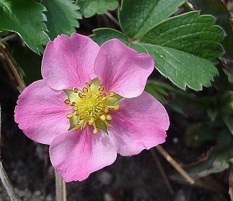 Amazon pink panda strawberry plant fragaria ornamental pink panda strawberry plant fragaria ornamentaledible quart pot mightylinksfo