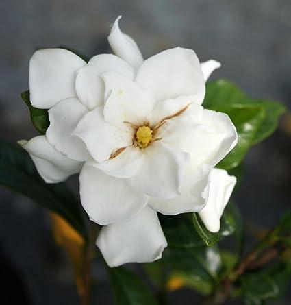 Live cape jasmine gandhraj plant gardenia flower plant amazon live cape jasmine gandhraj plant gardenia flower plant mightylinksfo