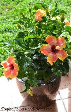 Ojorey Kifayati Hibiscus Rosa Healthy Live Flower Plant Best Pot