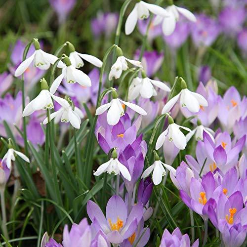 Portal Cool Bolly Bulbs 24 X Snowdrop y azafrán Bulbos - La colección blanco y púrpura