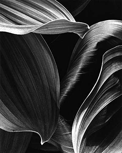 (Corn Lily Abstract (#3) )