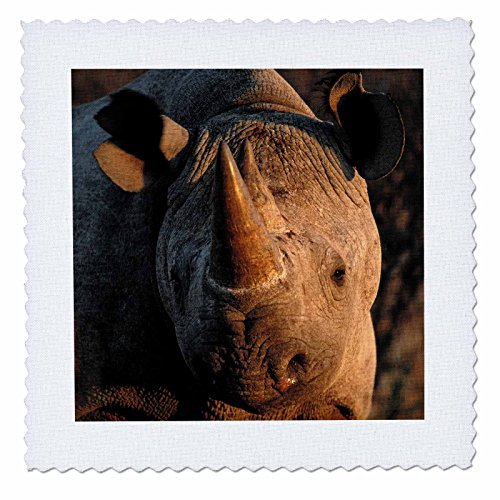 3dRose Danita Delimont - Rhinos - Desert black rhinoceros portrait, Kalahari Desert, Africa - 25x25 inch quilt square (qs_276412_10) (Kalahari Square)