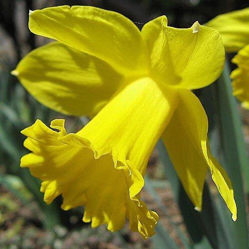 Dutch Master Daffodil 50 Bulbs -Deer & Rodent Resistant - 14/16 cm Bulbs