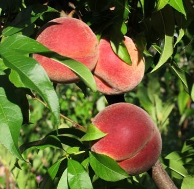 TREE RIPENED PEACHES PRODUCE SWEET FRESH FRUIT PER POUND by Fresh Brand (Image #1)