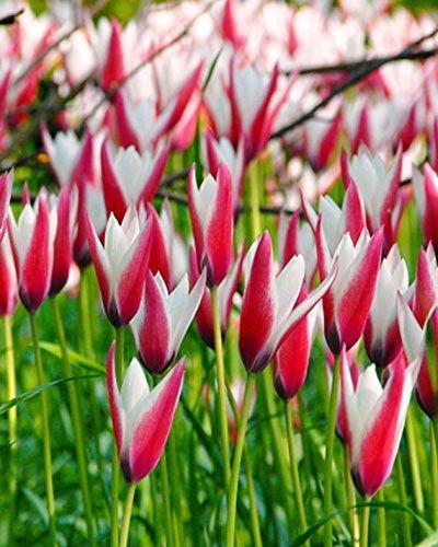 SILKSARTSILKSART Peppermint Stick Candlestick Tulip 10 Bulbs - Pink & White - 6/+ cm - Candlesticks Mint