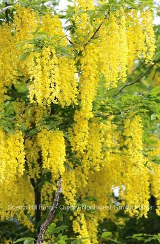 Golden Chain Tree (Laburnum anagyroides) - Live Potted Tree 30