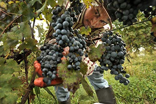 Rare» Best,Most prized Grapes Varieties - Pinot Meunier Grapes » 2 cuttings -