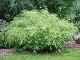 Box of 5 Fargesia 'Rufa' Sunset Glow Bamboo, #1 Size Live Plants.