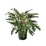PlantVine Philodendron 'Xanadu' - Large - 8-10 Inch Pot (3 Gallon), Live Indoor Plant