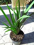 PlantVine Dietes Bicolor, Fortnight Lily, Iris Bicolor, Yellow African Iris, Moraea Bicolor - Large - 8-10 Inch Pot (3 Gallon), Live Plant - 4 Pack