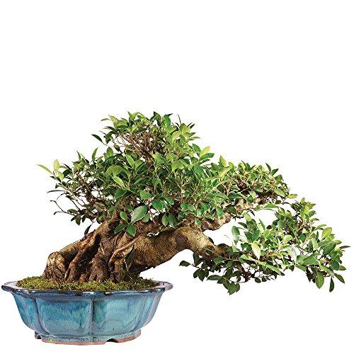 Brussel's Ficus Retusa Specimen Bonsai by Brussel's Bonsai