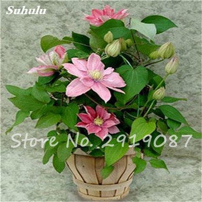 Amazon rare clematis seeds flower clematis vines bonsai rare clematis seeds flower clematis vines bonsai flowers perennial flowers climbing clematis plants for home garden mightylinksfo