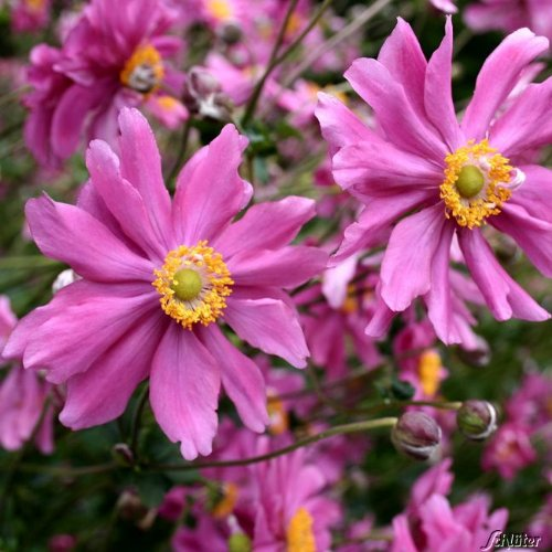 Anemone hupehensis var. japonica Prince Heinrich Prinz Heinrich purplish rose flowers loved by bees 9cm pot FREE DELIVERY