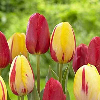 """50 Large bulbs Mix of Late Spring Single Tulip, Sky High Scarlet and La Courtine 24"""" Tall"""